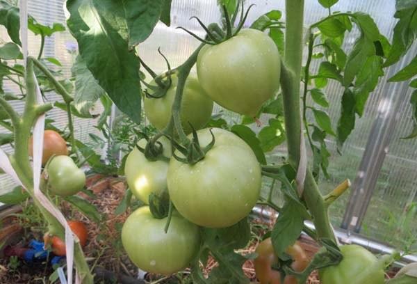 Характеристика томата Розовый сон F1 и агротехника выращивания сорта