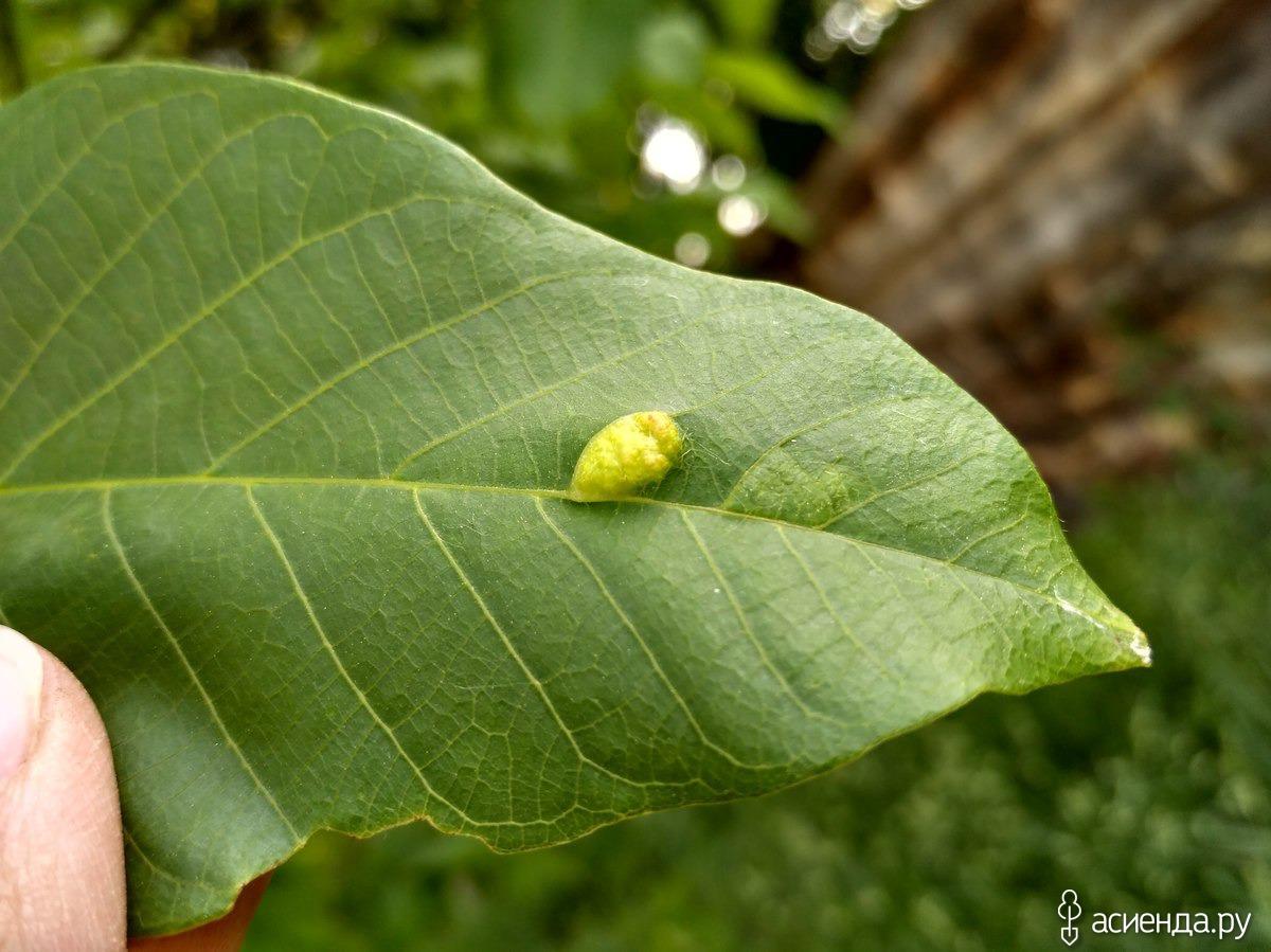 Болезни грецкого ореха, чернеют плоды, чем обработать, видео | сад и огород
