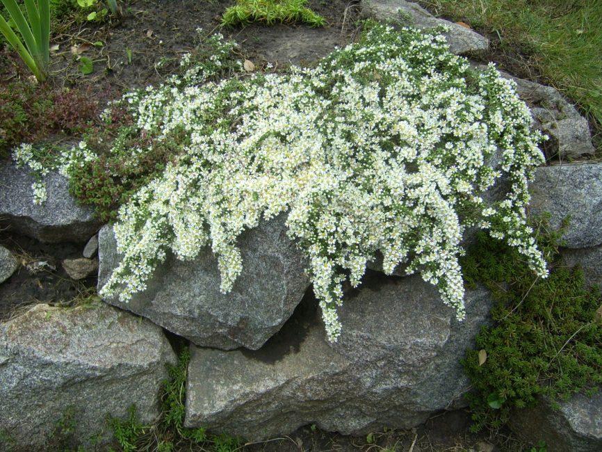Астры: выращивание и уход от посева семян до цветения. секреты выращивания, популярные сорта