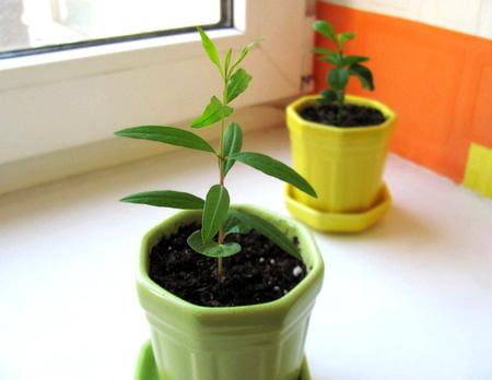 Выращивание граната из косточки в домашних условиях: советы, фото