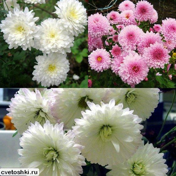 Зимостойкие сорта хризантемы: популярные, корейские, многолетние зимостойкие сорта хризантемы: популярные, корейские, многолетние