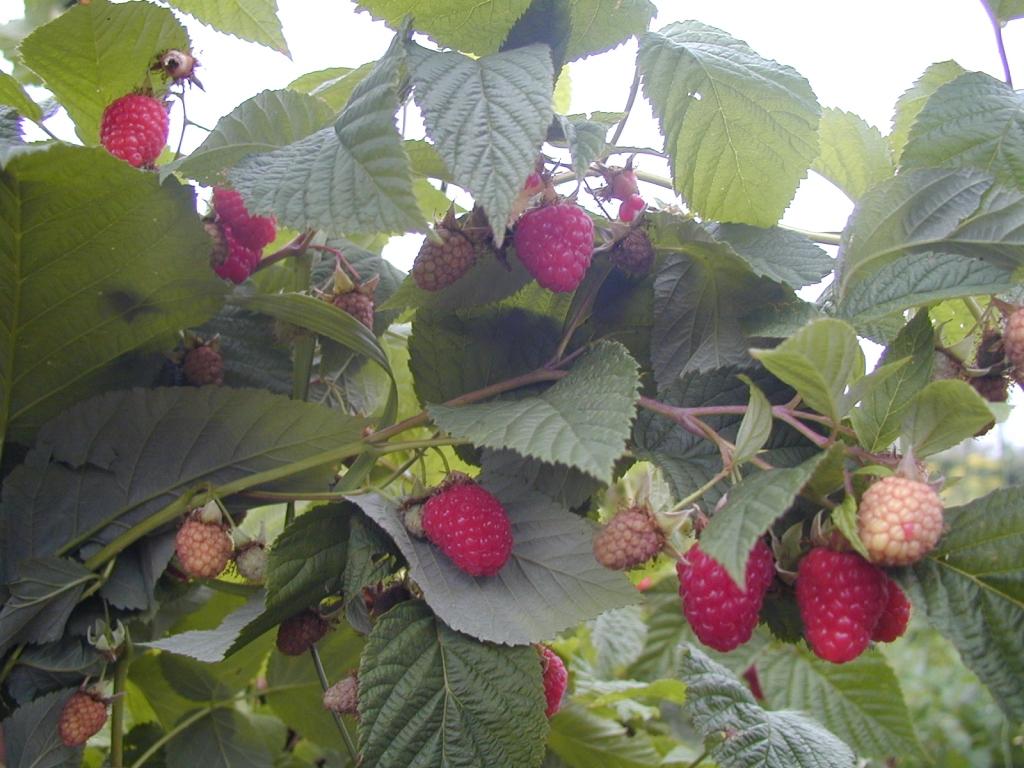 Сорт малины гордость россии, описание сорта с характеристикой и отзывами, а также особенности посадки и выращивания, фото
