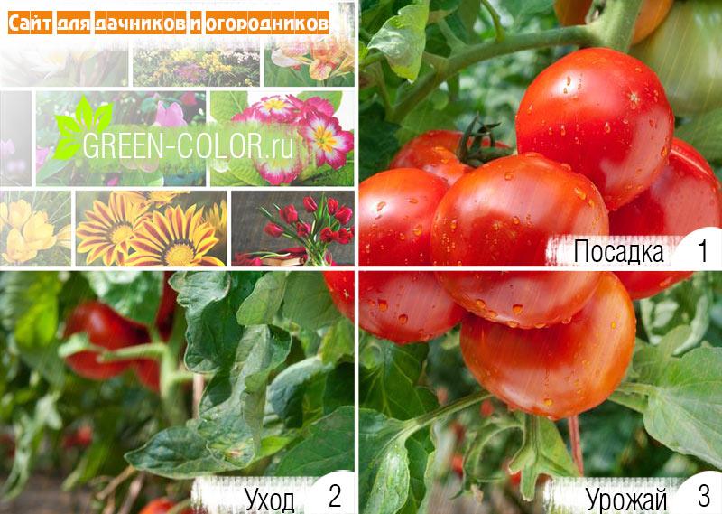 Самоопыляемые сорта томатов: вся информация и виды