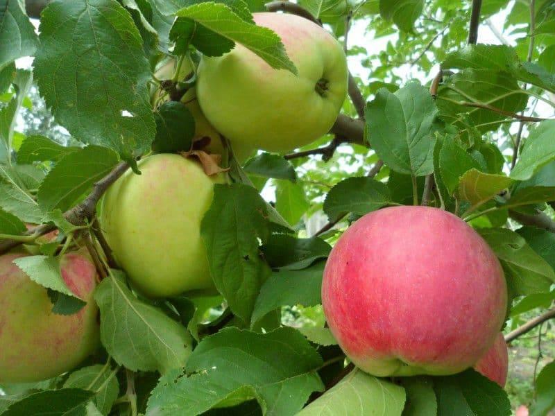 Яблоня коробовка: описание, посадка и уход + фото и отзывы