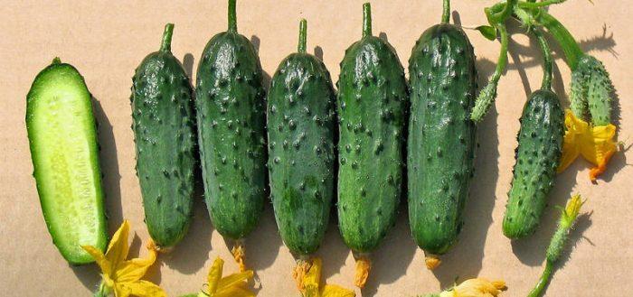 Огурцы сорта кураж f1 — как добиться урожая круглый год?