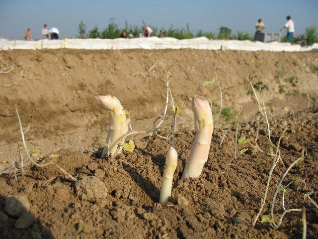Выращивание и уход в открытом грунте спаржи, характеристики сортов