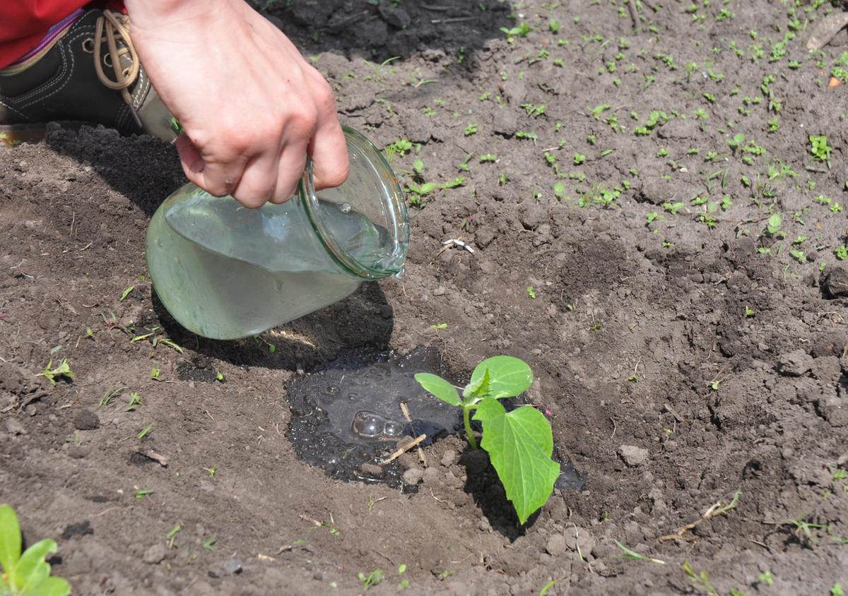 Чем подкормить арбузы после высадки в открытый грунт