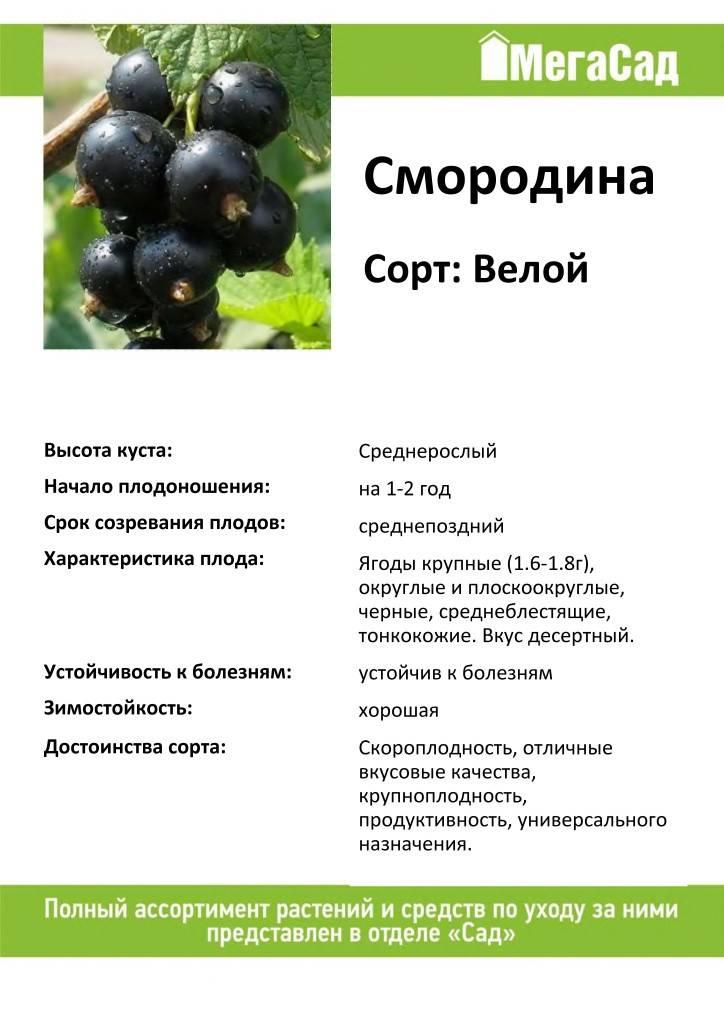 Черная смородина селеченская: описание сорта с характеристикой и отзывами, особенности посадки и выращивания и ухода, фото