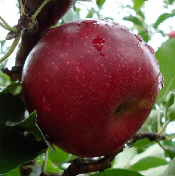 Описание сорта яблони джонаголд: фото яблок, важные характеристики, урожайность с дерева