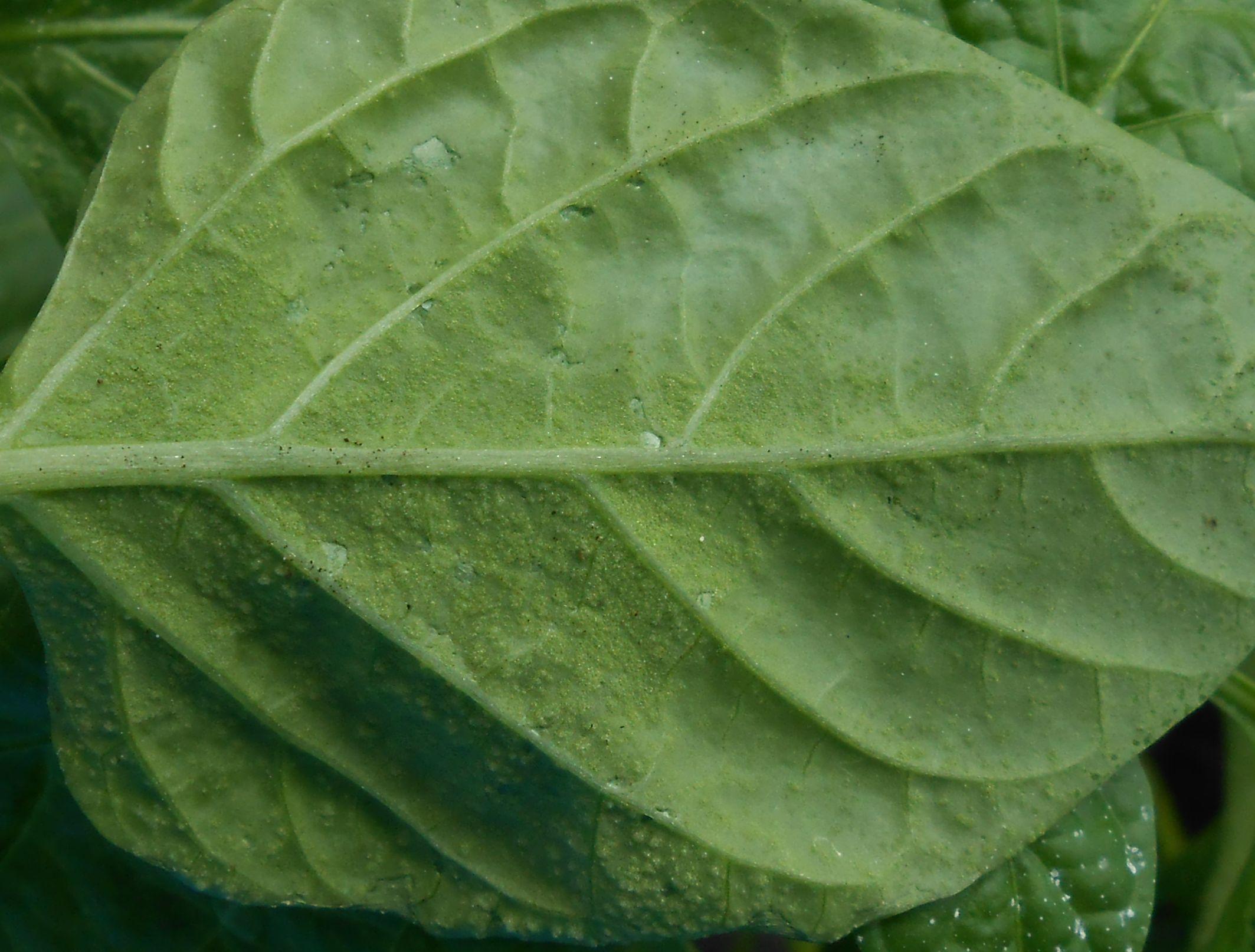 Скручиваются листья у рассады перцев: фото, почему и что делать?