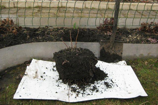 Правила пересадки клематиса на новое место в саду