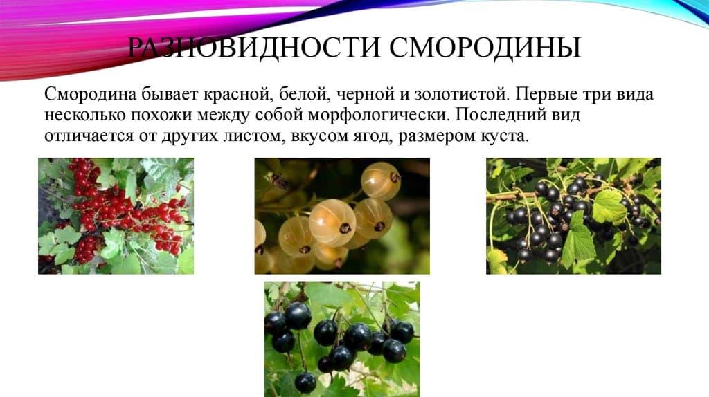 Лечебные свойства дикой смородины