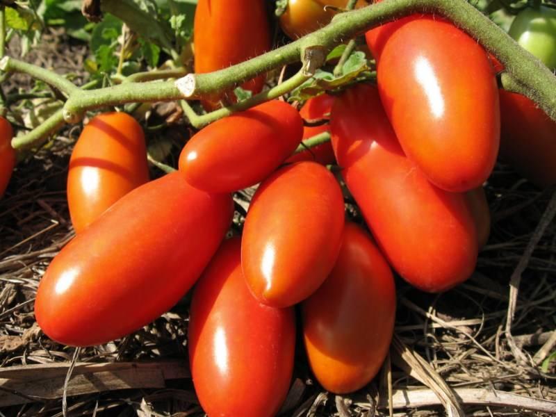 Томат банан красный - описание сорта, характеристика, урожайность, отзывы, фото