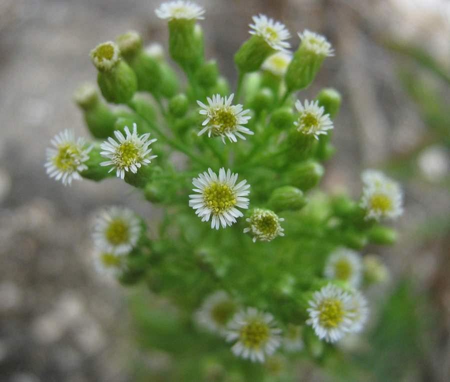 Канадский мелколепестник (заткни гузно): показания к применению и лечебные свойства травы
