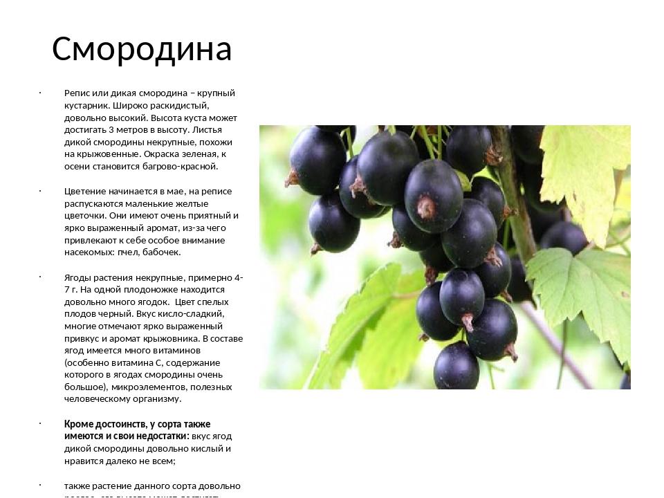 Черная смородина: посадка и уход   на supersadovnik.ru