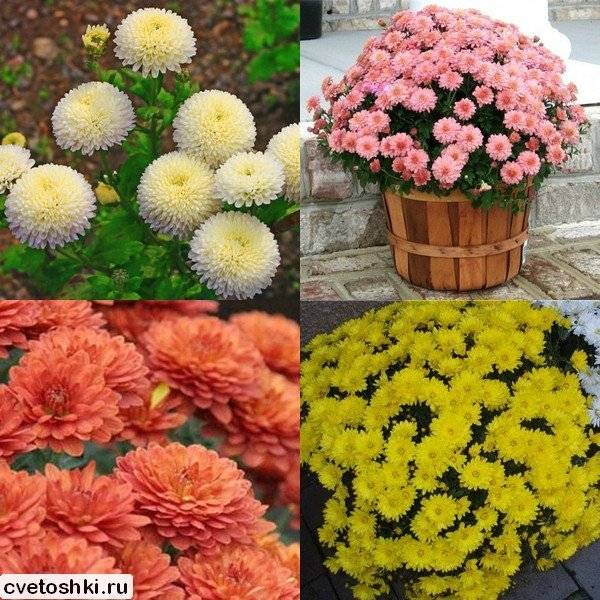 Виды и сорта хризантем (61 фото): описание сортов с названиями «зембла» и «саба», «балтика» и «кеннеди», разновидности хризантема килеватая и овощная, красные и фиолетовые цветы