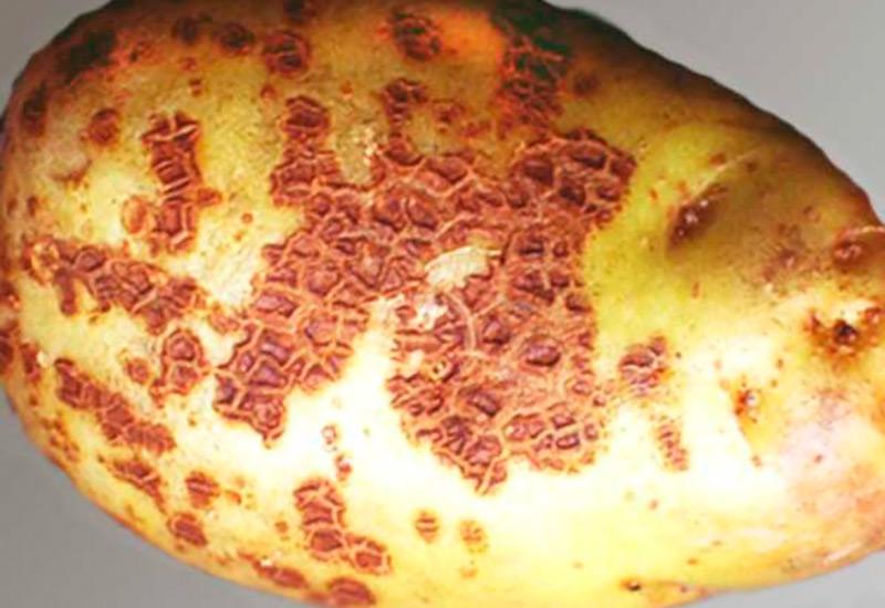 Ризоктониоз картофеля (черная парша) – причины и профилактика