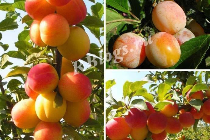 Особенности выращивания шелковицы в подмосковье, в том числе белой, сорта для выращивания в данном регионе