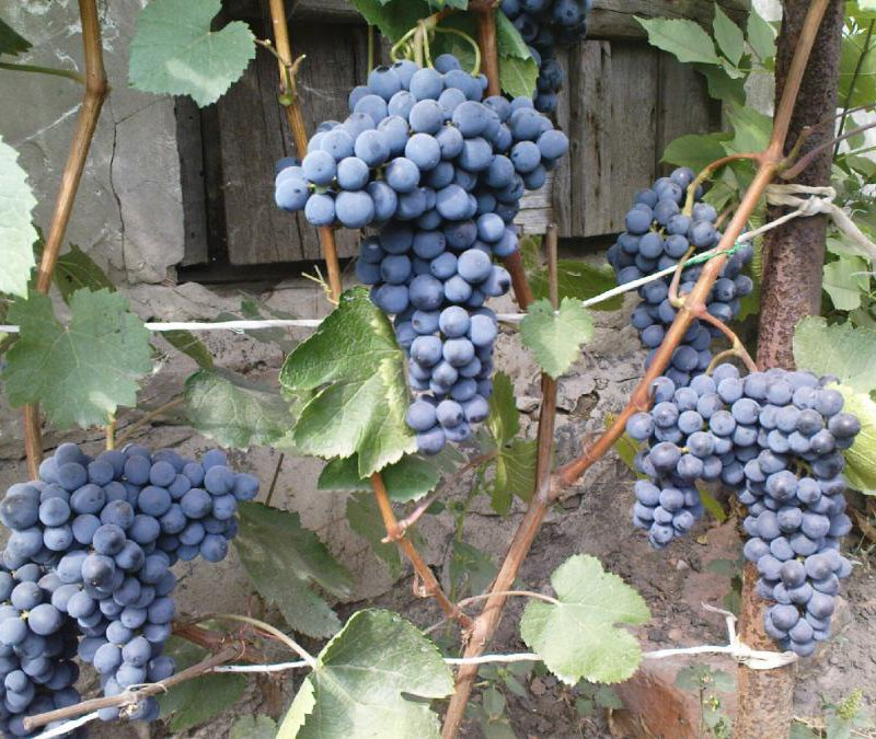 Сорт винограда саперави: описание и характеристика, выращивание и уход