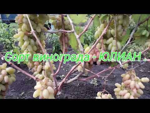Виноград юлиан: описание сорта, фото, селекция, как правильно ухаживать? selo.guru — интернет портал о сельском хозяйстве