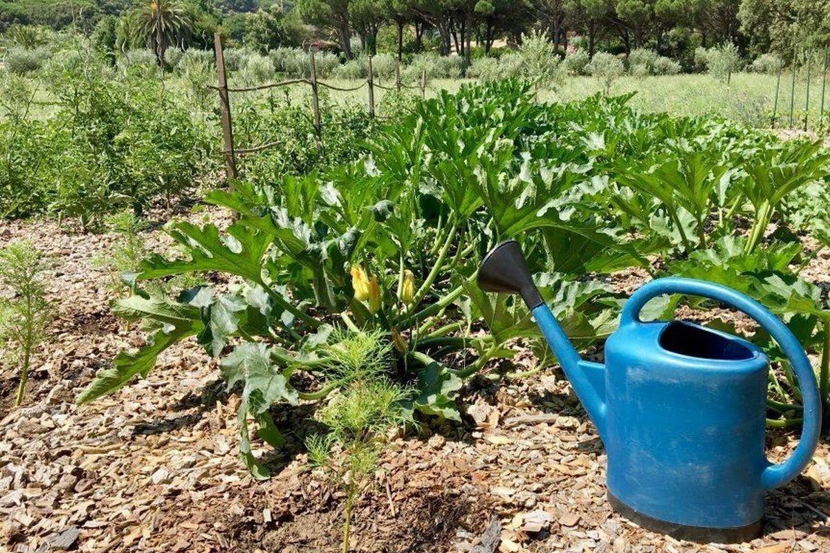 Выращивание кабачков в открытом грунте: все секреты супер урожая