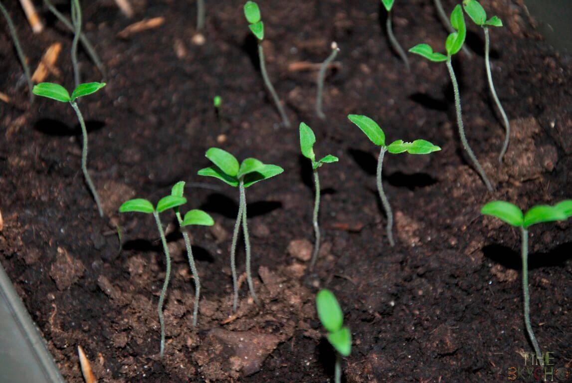 Все нюансы посадки фасоли на рассаду и в открытый грунт