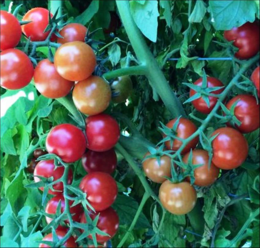 Бурая гроздь f1 – эффектные ветви урожайного томата. описание агротехники и рекомендации