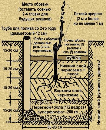 Выращивание винограда в средней полосе россии для начинающих: подкормка и уход, как выращивать в июне