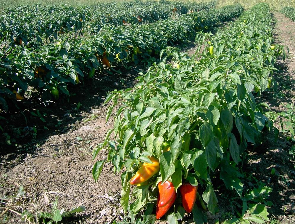 Уход за перцем в открытом грунте: секреты выращивания, видео и фото
