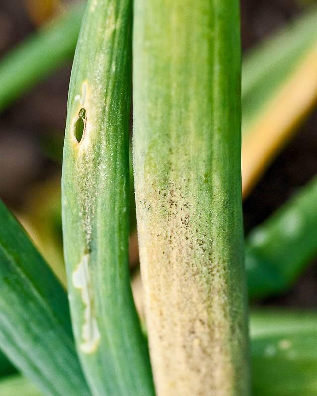 Народные средства от мучнистой росы: составы, применение, результат