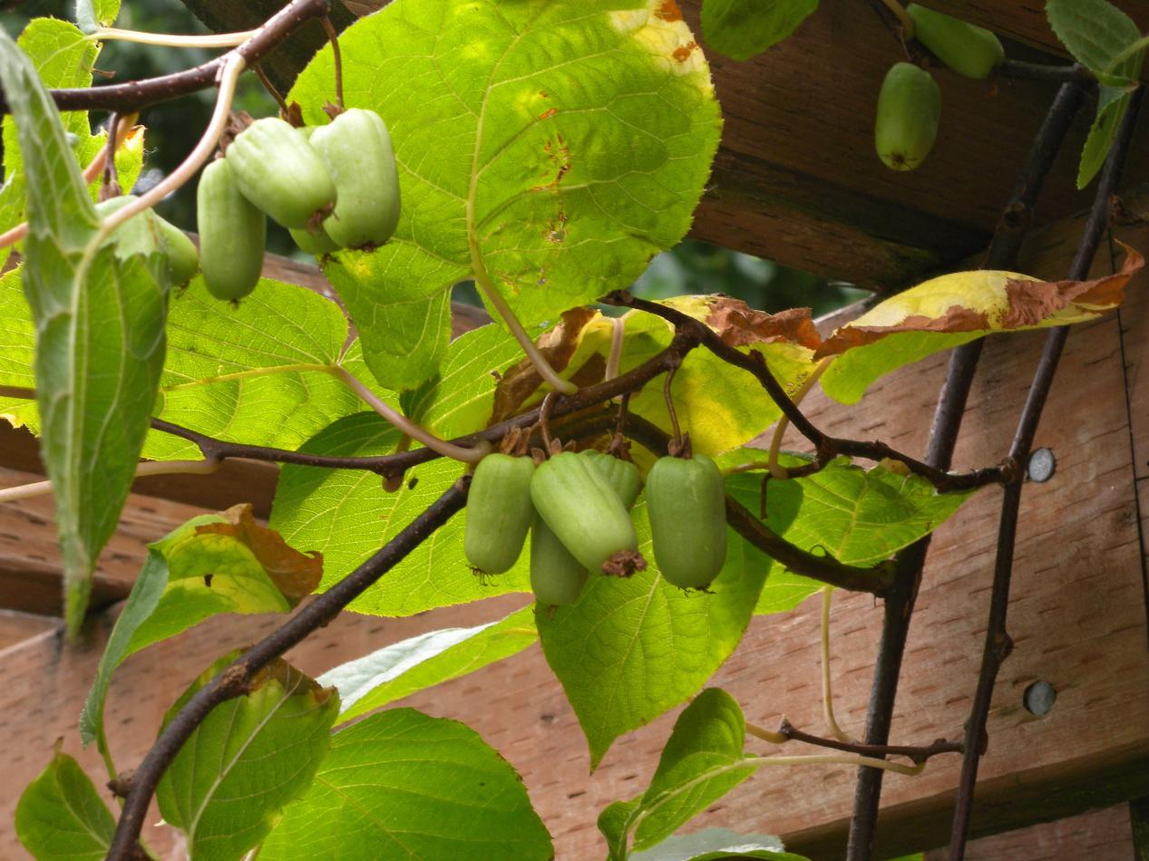 Актинидия: посадка и уход в подмосковье. особенности выращивания разных сортов, размножение