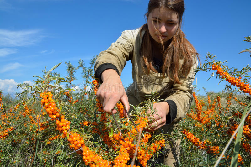 Как и когда собирать урожай облепихи: способы и приспособления - огород, сад, балкон - медиаплатформа миртесен
