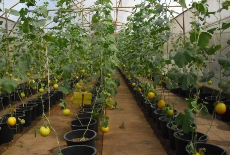 Советы по уходу за дыней. выращивание дыни в теплице и открытом грунте