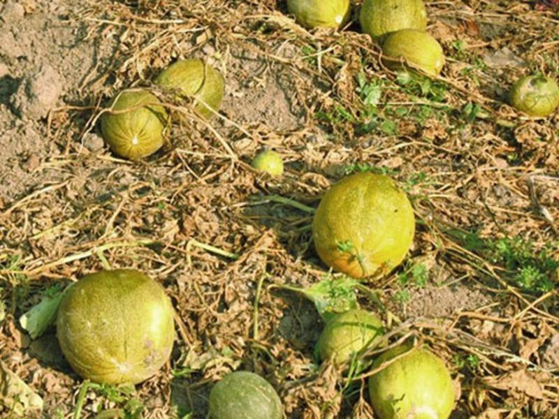 Выращивание дыни в открытом грунте черноземья: лучшие сорта, посадка семян и рекомендации по уходу - дом и участок