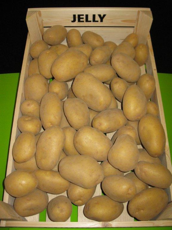 ᐉ сорт картофеля «джелли» – описание и фото - roza-zanoza.ru