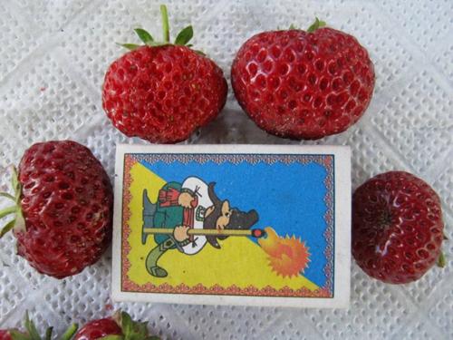 Клубника мице шиндлер: сортовые характеристики и особенности выращивания