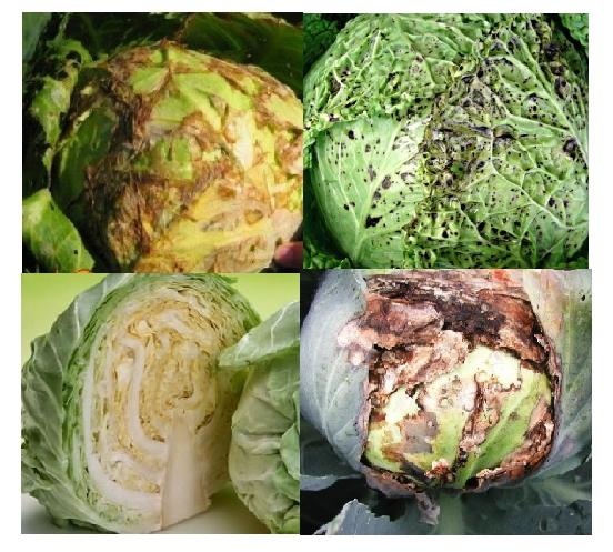 Описание и фото основных заболеваний капусты