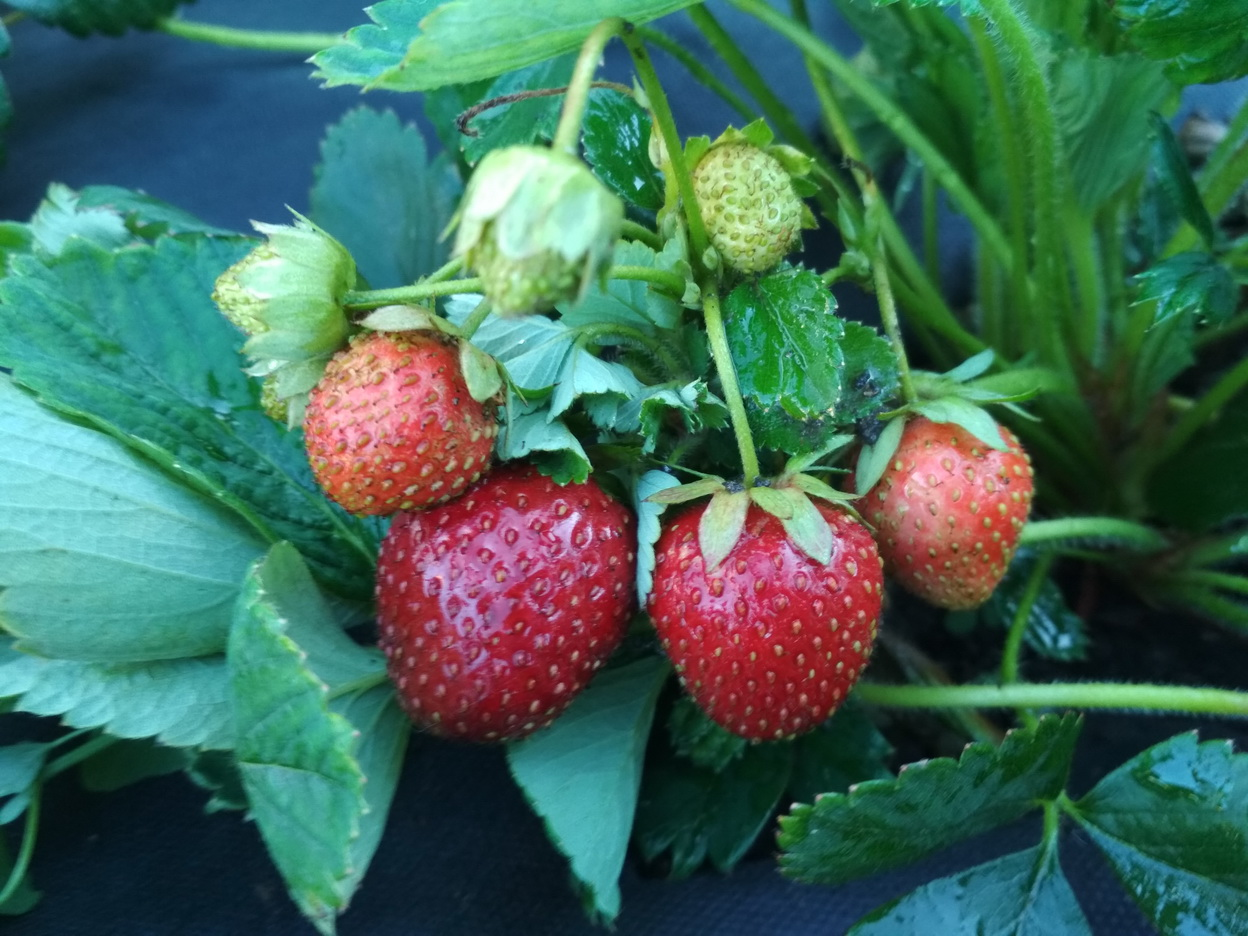 Клубника зенга зенгана — описание сорта, фото и отзывы садоводов