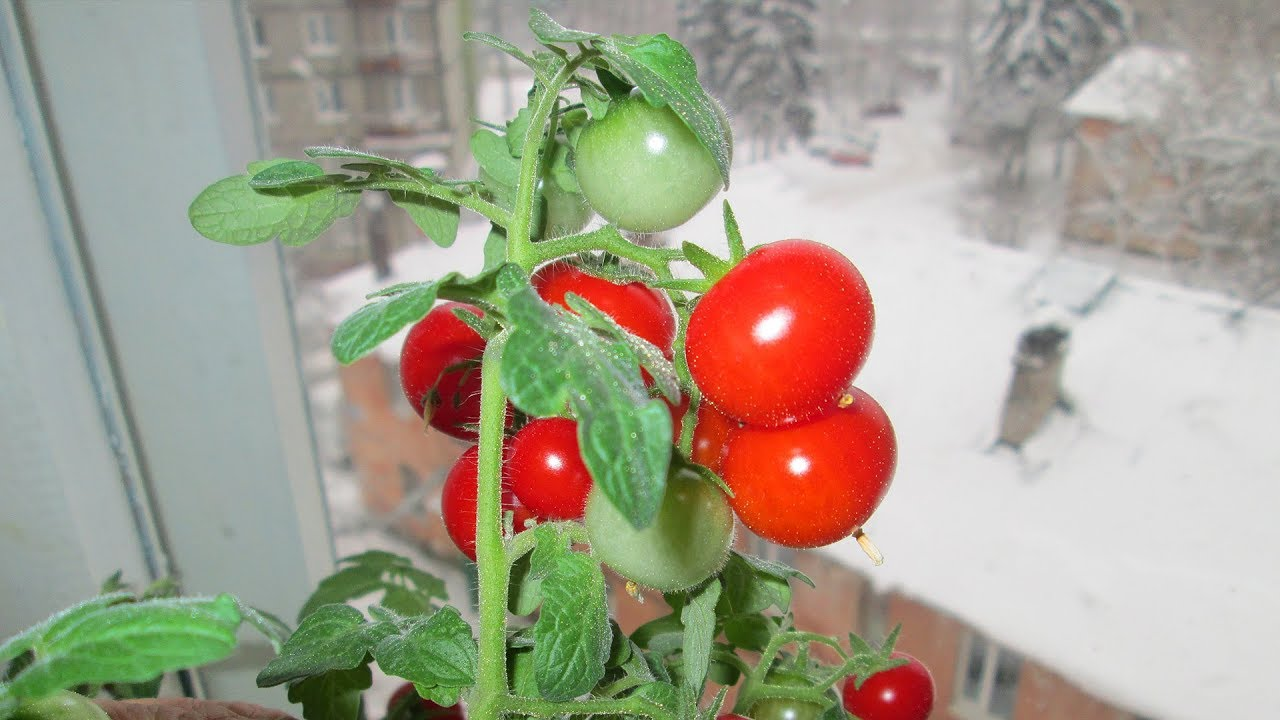 Помидоры на подоконнике зимой: лучшие сорта, подготовка, выращивание