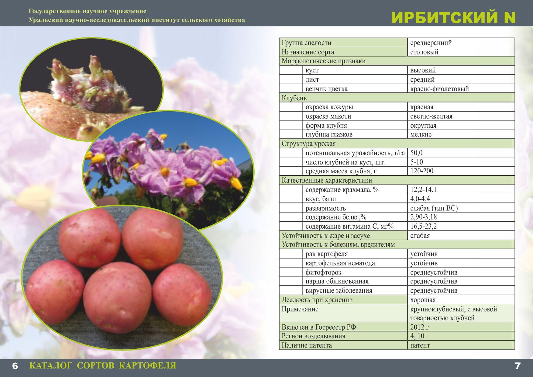 Картофель ирбитский – описание сорта, фото, отзывы