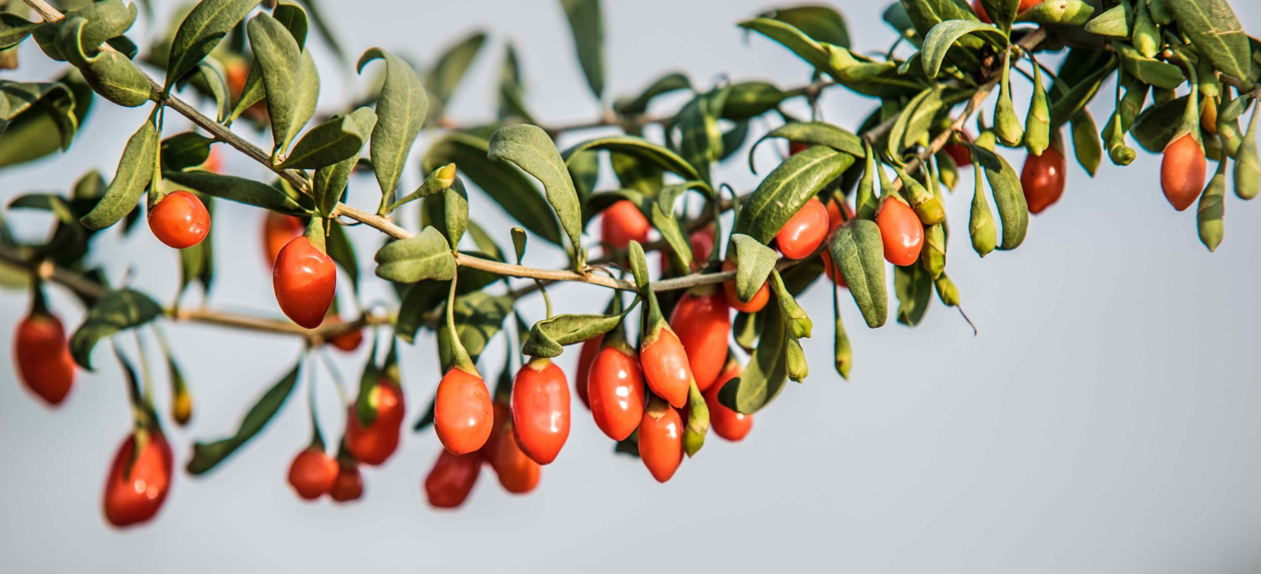 Полезные свойства и применение барбариса