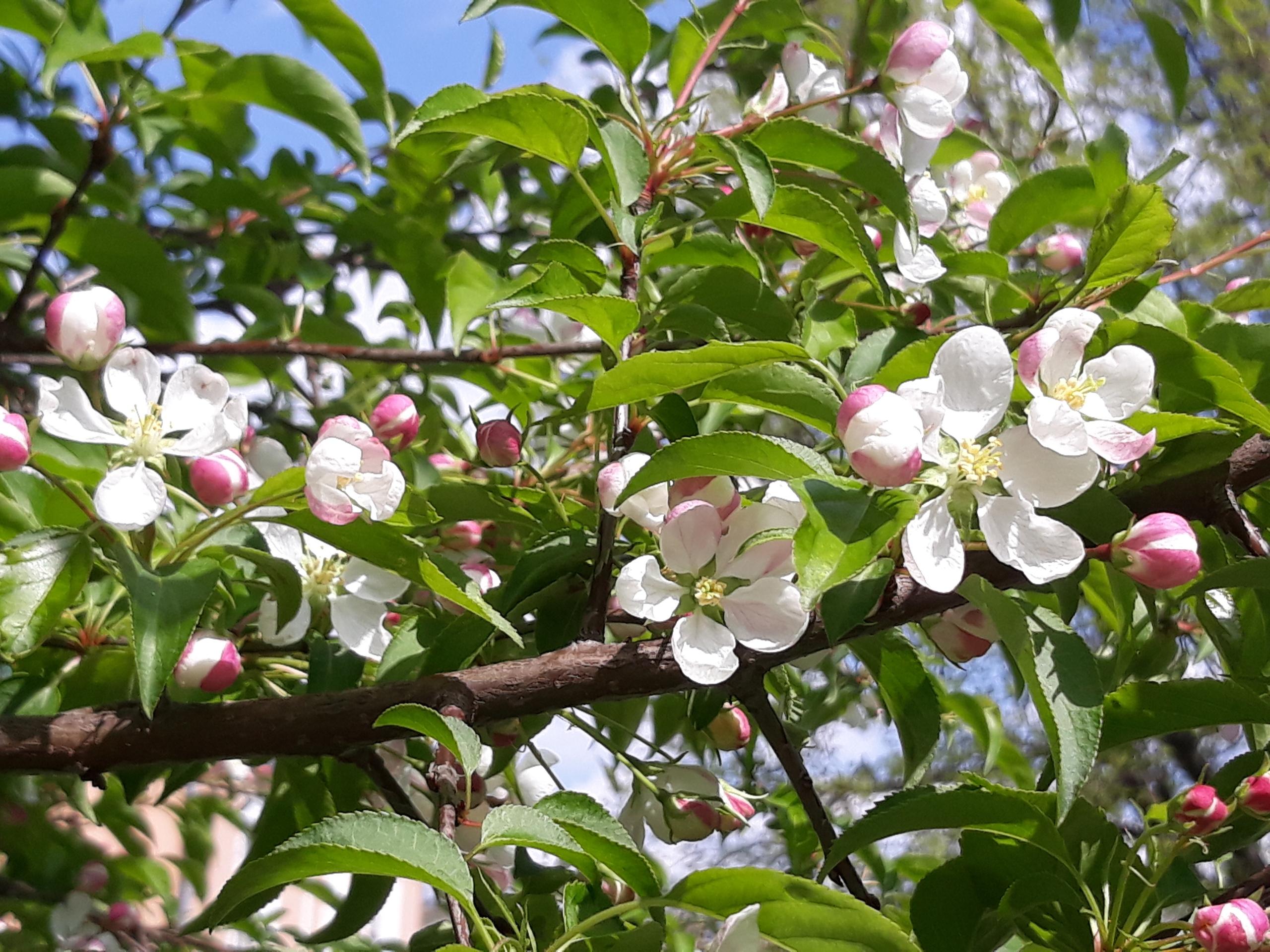 Сорта яблонь для сибири: рейтинг самых популярных + фото сортов