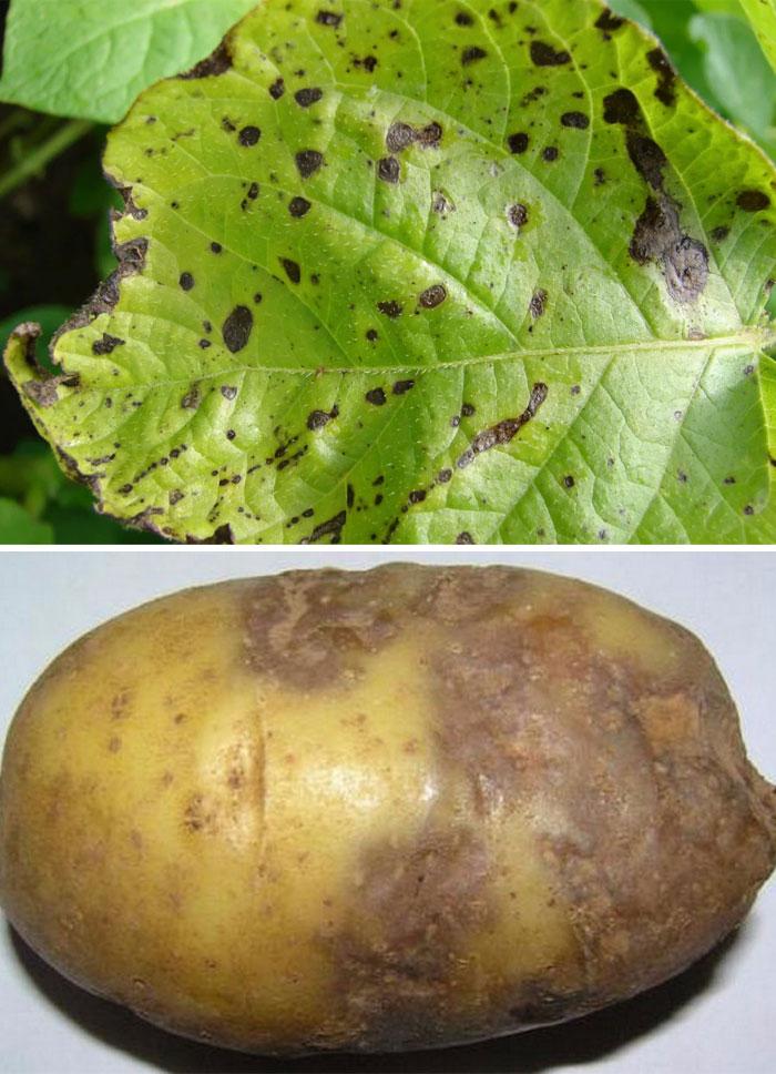 Вредители картофеля с фото, описанием и их лечение