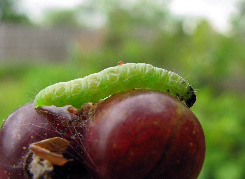 Плодожорка на яблоне – методы борьбы с вредителем