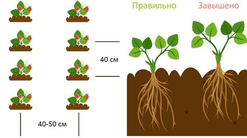 Клубника джоли: описание сорта, отзывы садоводов, фото