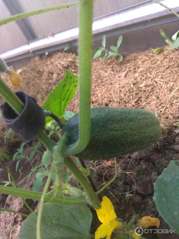 Как правильно выращивать луховицкие огурцы