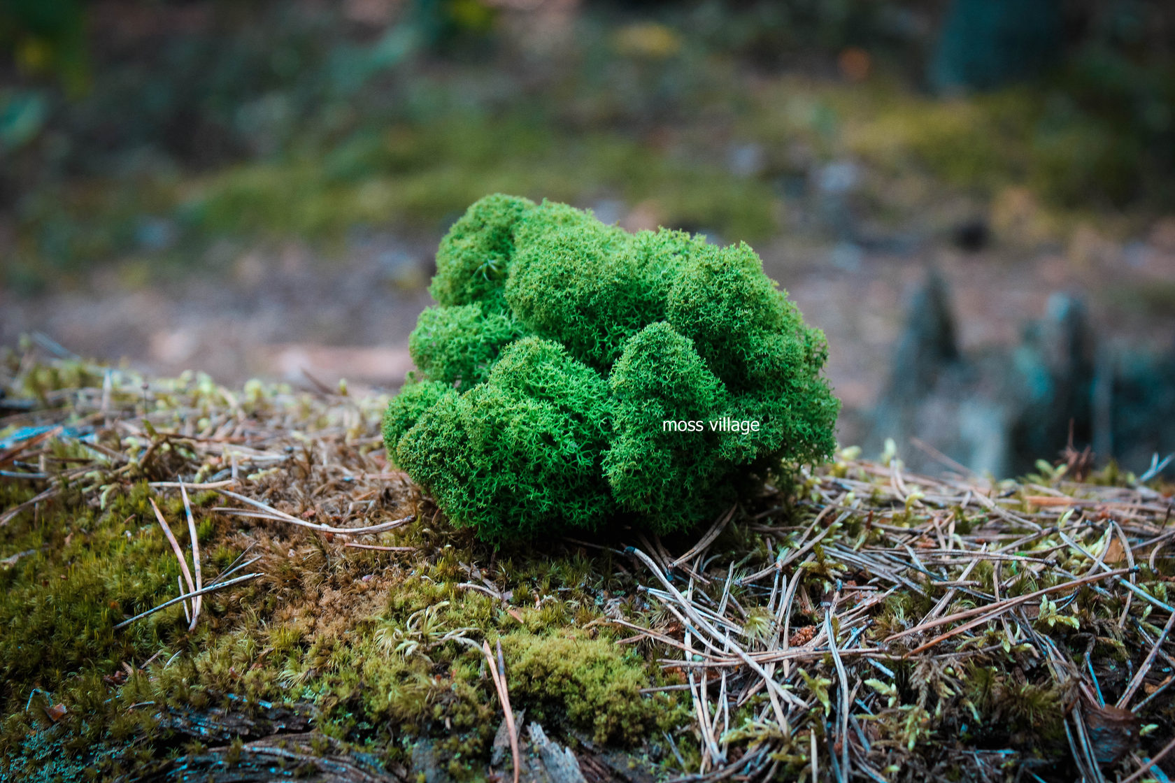 Мох на подоконнике. как вырастить дома кусочек леса