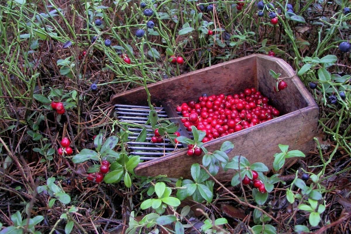 Грабли своими руками: самодельные деревянные грабли для сена, сбора ягод брусники и листвы. как сделать веерные и поперечные грабли?