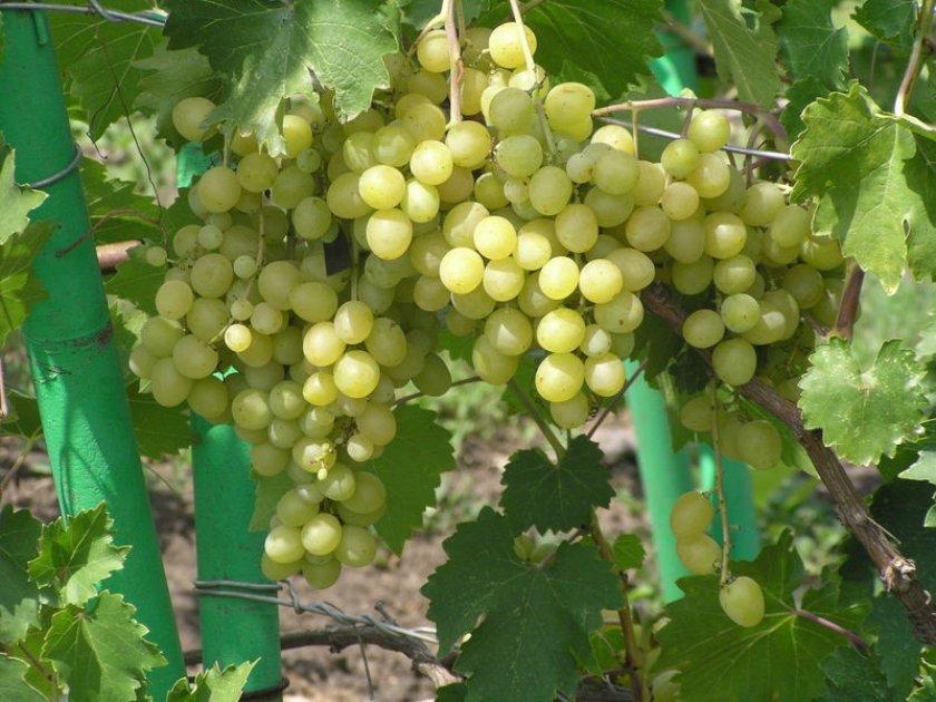 Виноград галахад: описание сорта, фото, отзывы