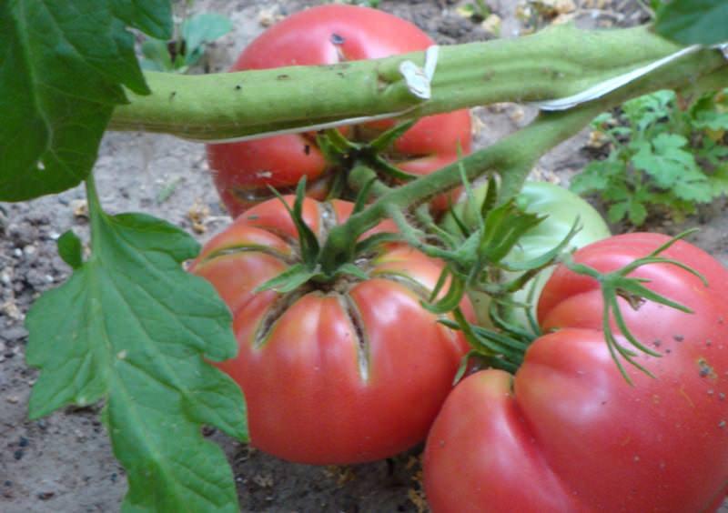 """Характеристика сорта томатов """"третьяковский"""""""